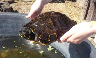 Zugelaufen – Wasserschildkröte in Ahrbergen