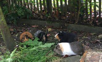 Neues Zuhause – Meerschweinchen Heinrich grüßt