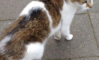 Zugelaufen – Katze in der Harlessemstraße