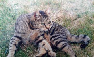 Vermisst – Katze Lizzy aus Dingelbe