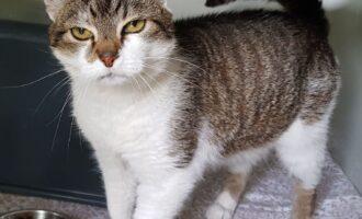 Zugelaufen – Katze in Bavenstedt