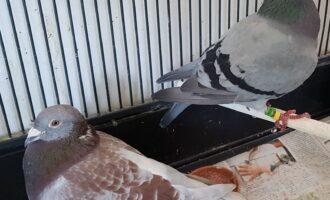 Taubenfreunde gesucht
