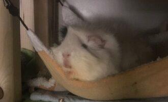 Neues Zuhause – Meerschweinchen Jamie