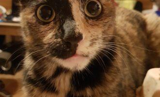Vermisst – Katze Bonnie aus