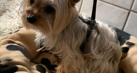 Yorkshire Terrier Toshi