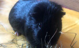 Neues Zuhause – Meerschweinchen Fridolin grüßt