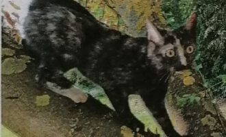 Vermisst – Katze Taiya