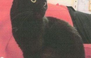 Vermisst – Schwarze Katze aus Hannover