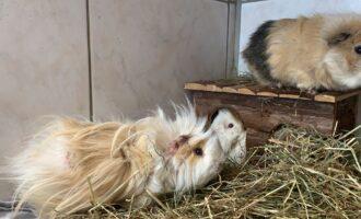 Zugelaufen – 4 Meerschweinchen in Oedelum